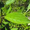 Creek Dogwood  (Cornus sericea) CORNACEAE