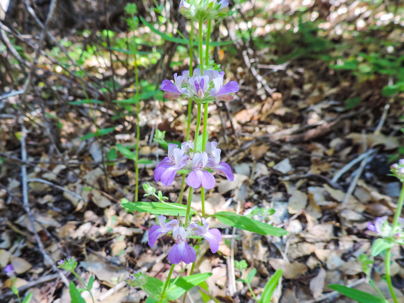 Chinese Houses (Collinsia sp.) PLANTAGINACEAE