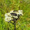 Common Yarrow  (Achillea millefolium) ASTERACEAE