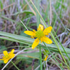 California Buttercup  (Ranunculus californicus) RANUNCULACEAE