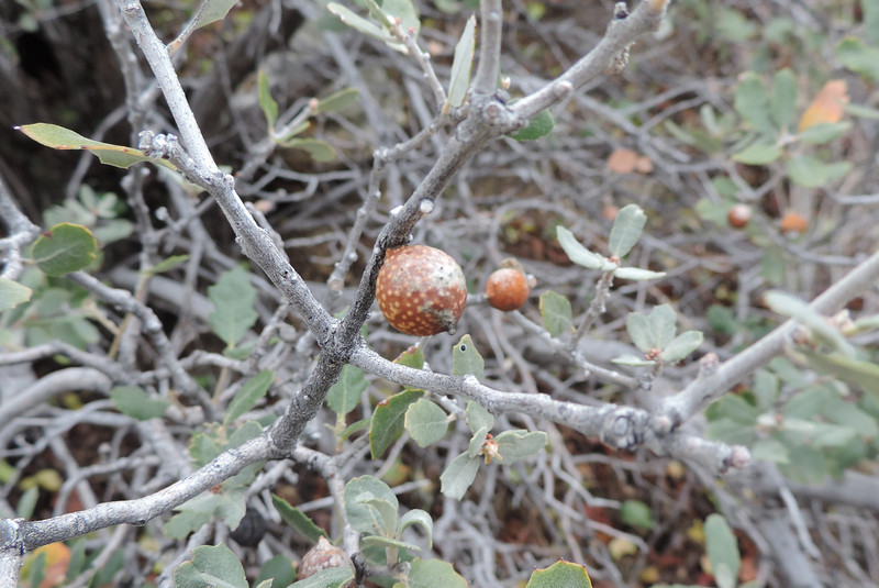 Gall in Scrub Oak