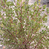 Eastwood Manzanita (Arctostaphylos glandulosa)