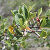 Mountain Mahogany (Cercocarpus betuloides)
