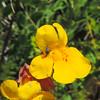 Seep Monkeyflower  (Mimulus guttatus) PHRYMACEAE