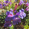 Foothill Penstemon  (Penstemon heterophyllus) PLANTAGINACEAE