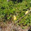 Caulanthus (Caulanthus sp.) BRASSICACEAE