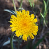Spear-leaf Mountain-dandelion  (Agoseris retrorsa) ASTERACEAE