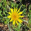 Salsify  (Tragopogon dubius) ASTERACEAE