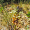 English Plantain  (Plantago lanceolata) PLANTAGINACEAE
