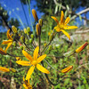 Goldenstars  (Bloomeria crocea) THEMIDACEAE