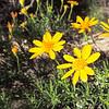 Interior Golden Bush  (Ericameria linearifolia) ASTERACEAE