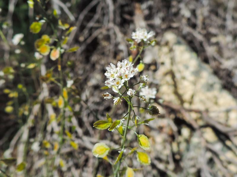 Fringe Pod  (Thysanocarpus curvipes) BRASSICACEAE