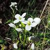 Milkmaids  (Cardamine californica) BRASSICACEAE