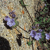 Common Phacelia  (Phacelia distans) BORAGINACEAE