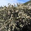 Cupped Leaf Ceanothus (Ceanothus perplexans) RHAMNACEAE