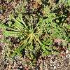 Pussypaws (Calyptridium monandrum) MONTIACEAE