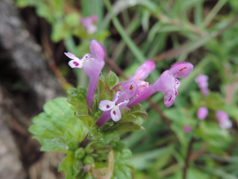 Henbit (Lamium amplexicaule) LAMIACEAE