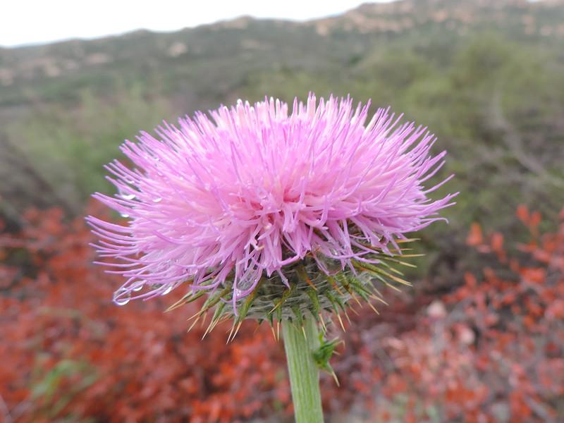 California Thistle (Cirsium occidentale var. californicum) ASTERACEAE