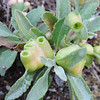 Gall on White Sage