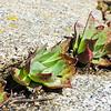 Chalk Dudleya  (Dudleya pulverulenta) CRASSULACEAE