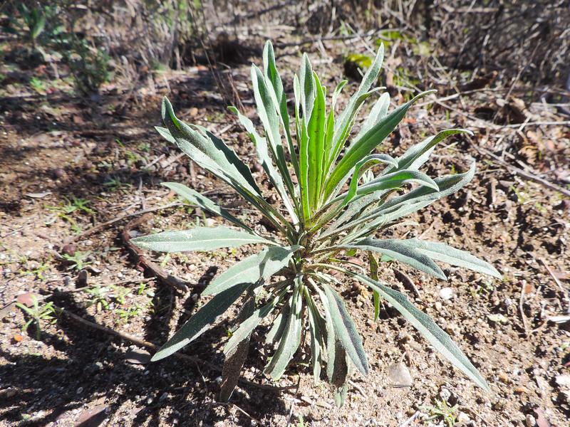 Rockcress  (Boechera sp.) BRASSICACEAE
