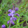 Woolly Bluecurls (Trichostema lanatum) LAMIACEAE