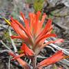 Coast Paintbrush (Castilleja affinis) OROBANCHACEAE