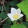 Thimbleberry  (Rubus parviflorus) ROSACEAE