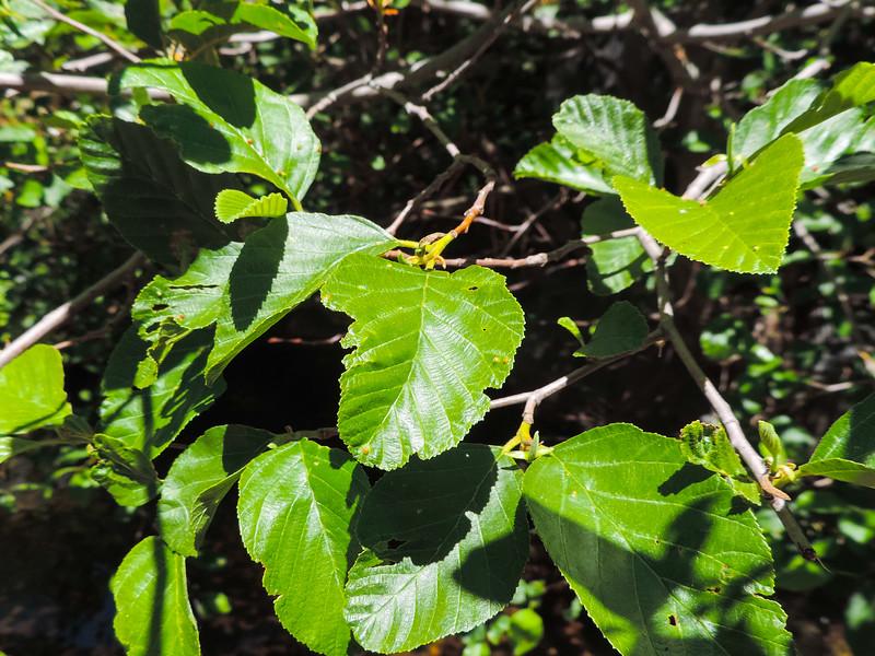 White Alder (Alnus rhombifolia) BETULACEAE