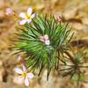 Whisker Brush (Leptosiphon ciliatus) POLEMONIACEAE