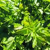 Wild Celery (Apium graveolens) APIACEAE