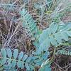 Parish's Milkvetch  (Astragalus douglasii var. parishii) FABACEAE