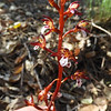 Coral-root (Corallorhiza maculata) ORCHIDACEAE