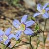 Sapphire Woollystar (Eriastrum sapphirinum ssp. sapphirinum) POLEMONIACEAE