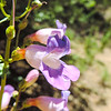 Showy Penstemon  (Penstemon spectabilis) PLANTAGINACEAE