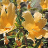 Bush Monkeyflower (Diplacus aurantiacus) PHRYMACEAE