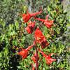 Scarlet Larkspur  (Delphinium cardinale) RANUNCULACEAE