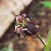 Slender-pod Jewelflower  (Caulanthus heterophyllus) BRASSICACEAE