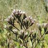 Sacapellote (Acourtia microcephala)  ASTERACEAE