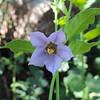 Blue Nightshade (Solanum umbelliferum) SOLANACEAE
