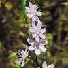 Twiggy Wreath-plant (Stephanomeria virgata ssp. pleurocarpa) ASTERACEAE
