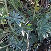Grape Soda Lupine (Lupinus excubitus) FABACEAE