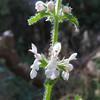 Hedge Nettle (Stachys ajugoides) LAMIACEAE