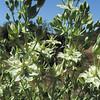 Deer's Ears (Frasera parryi) GENTIANACEAE