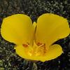 Goldenbowl Mariposa Lily  (Calochortus concolor)  LILIACEAE