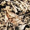 Blainville's Horned Lizard (Phrynosoma blainvillii)
