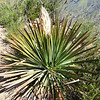 Chaparral Yucca (Hesperoyucca whipplei) AGAVACEAE