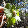 Wild Grape (Vitis girdiana) VITACEAE