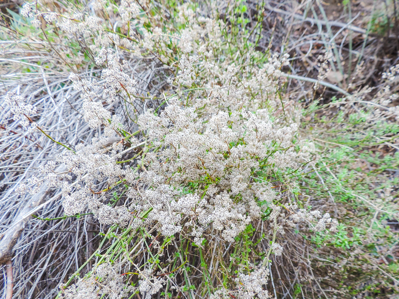 Prickly Bedstraw (Galium aparine) RUBIACEAE