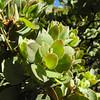 Eastwood Manzanita (Arctostaphylos glandulosa) ERICACEAE